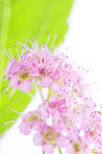 Spiraea x bumolda, the inflorescence fragment and the leaves, ma — Stock Photo