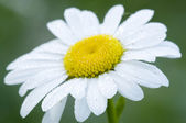 Ox-eye daisy flower — Stock Photo
