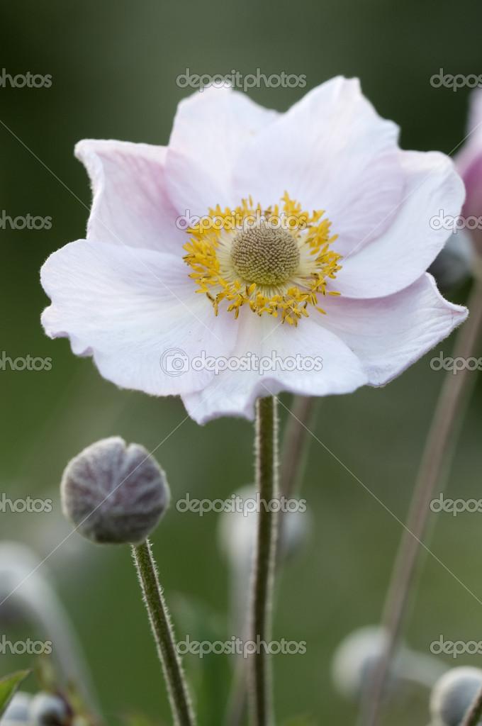 цветок анемона фото: