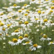 Ox-eye daisy field — Stock Photo
