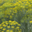 Stock Photo: Dill flowers
