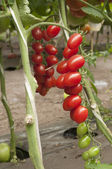 Röda tomater i växthus — Stockfoto