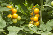 Tomatoes in a greenhouse — Foto Stock