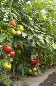 Tomato plants in a greenhouse — Стоковое фото