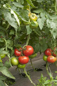 Tomato plants in a greenhouse — Photo