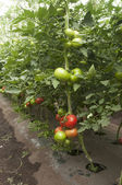 Tomato plants in a greenhouse — Foto Stock