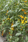 Tomato plants in a greenhouse — Foto de Stock