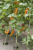 Tomato plants in a greenhouse — ストック写真