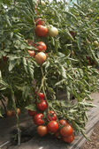 Tomato plants in a greenhouse — Stock fotografie