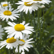 Ox-eye daisy flowers — Stock Photo