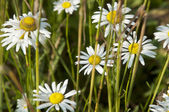 Ox-eye daisy — Stock Photo