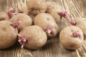 Potato bulbs with young sprouts — Stock Photo