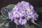 Saintpaulia (african violet) flowers — Stock Photo