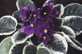 Saintpaulia (african violet) flowers — Photo