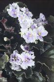 Saintpaulia (african violet) flowers — Stockfoto