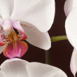 ������, ������: Phalaenopsis orchid flowers butterfly orchid