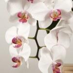 Постер, плакат: Phalaenopsis orchid flowers butterfly orchid