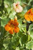 Nasturtium (Indian cress) flowers — Stock Photo
