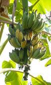 Banda dozrávání banánů na stromě — Stock fotografie