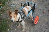 Disable dog in a wheelchair on ground — 图库照片