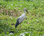 Great blue heron standing in the swamp — Stock Photo