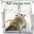 Rat in the cage trap in white background — Stock Photo #51337117