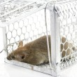 Rat in the cage trap in white background — Stock Photo #51337161