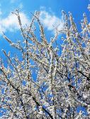 Цветущие деревья — Стоковое фото