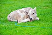 Village  Little cow on green grass — Zdjęcie stockowe