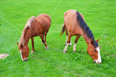 Two brown horses grazing in the meadow — Stock Photo