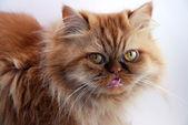 Cat muzzle — Stock Photo