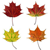 Maple autumn leafs — Stock Photo