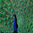 The peacock tail feathers — Stock Photo