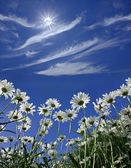 Daisies on a background of blue sunny sky — Stok fotoğraf