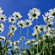 Camomiles closeup on sky background — Stock Photo #47442623