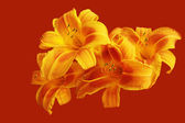 Bright lily closeup — Stock Photo