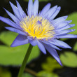 Blue lotus petals and purple pollen and green leave — Stock Photo