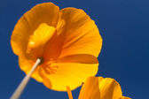 Mexican Yellow Poppies — Stock Photo