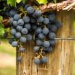 Red Wine Grapes — Stock Photo