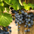 Red Wine Grapes — Stock Photo #33705713
