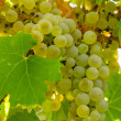 White Wine Grapes — Stockfoto