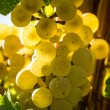 White Wine Grapes — Stock Photo #33706221