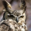 Stock Photo: Great Horned Owl