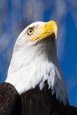 águia careca — Fotografia Stock