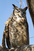 Great Horned Owl — Stock Photo