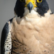 Stock Photo: Peregrine Falcon