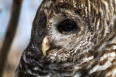 Barred Owl — Stock Photo