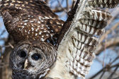 Barred Owl — Foto de Stock