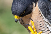 Peregrine Falcon — Stock Photo