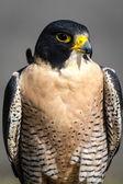 Falcão-peregrino — Fotografia Stock
